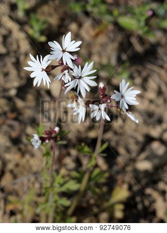 Small-flowered Woodland-star - Lithophragma parviflorum