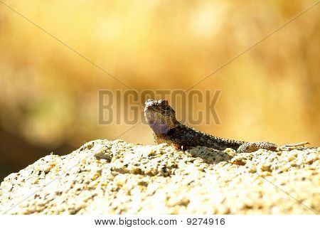 Shot of large gecko basking in the sun