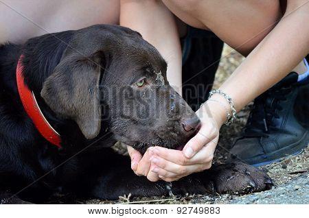 Thirsty Labrador