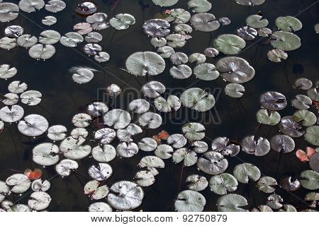 Water Lily, Nymphaea, Leaves