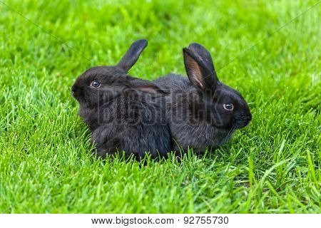 Black Rabbit, Rabbit on the lawn Rabbit on the green grass, a frightened rabbit