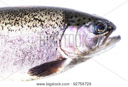 Rainbow Trout (oncorhynchus Mykiss) Females, Isolated On A White Background.