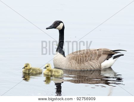 Canada Goose Goslings