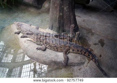 Orinoco Crocodiles