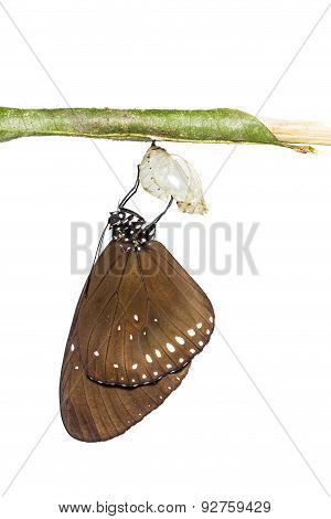 The Common Crow Butterfly Emerge From Pupa