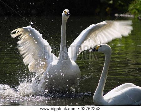 Bewick Swans Ritaul to his Mate