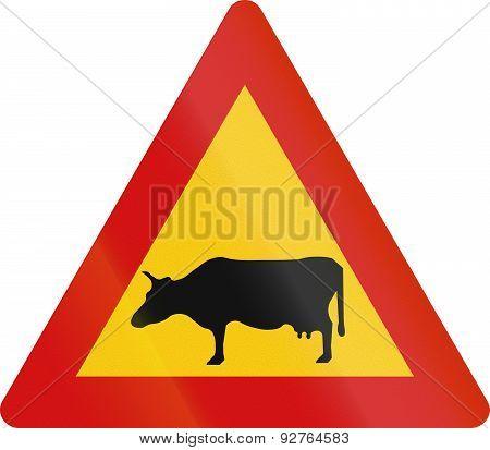 Cattle Crossing In Iceland