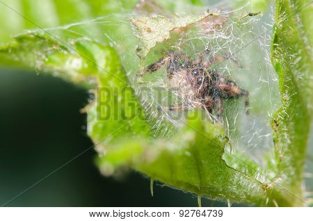 Juping Spider Behind A Spider Web