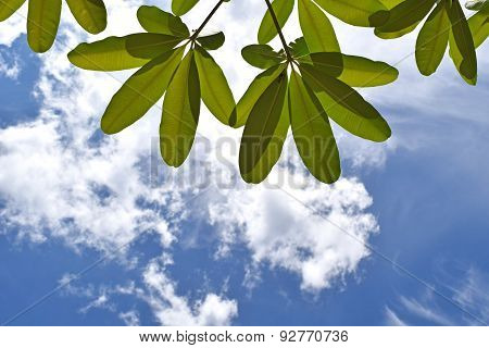 View top leaves and blus sky and white clouds