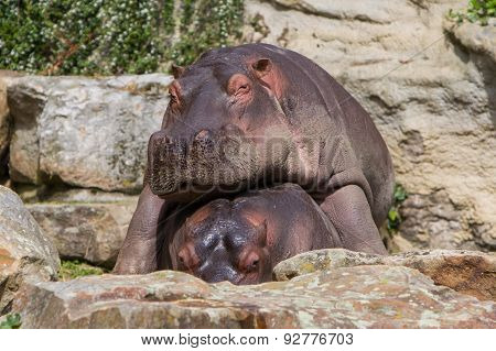 Hippo Resting On Another Hippo