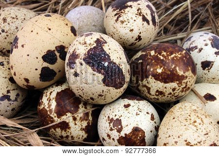 Many Spotted Quail