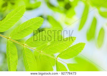 Green rowan leaves over blue sky