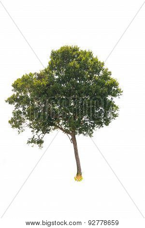 Deciduous Tree