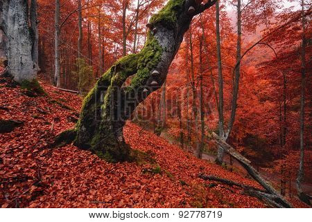 Old, moss-covered lonely tree standing on a slope, which is thickly strewn with red fallen leaves