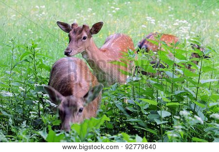 Whitetail Deer Doe And Fawn In A Beanfield In Late Evening