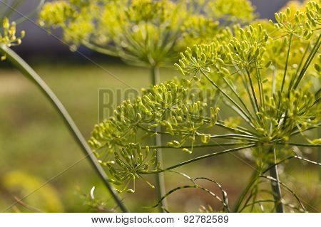 inflorescence dill Horticultural