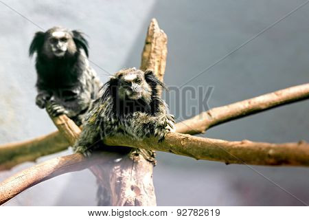 Monkeys Black-tufted Marmoset