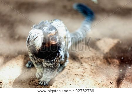 Monkey White Tufted Marmoset