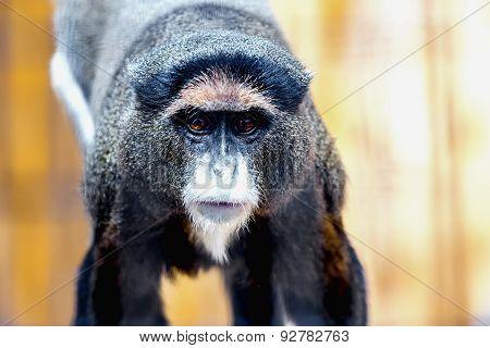 Black Monkey In Zoo