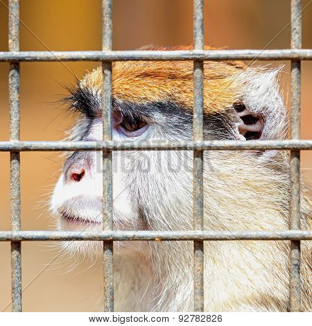 Monkey Looking Through Zoo Cell