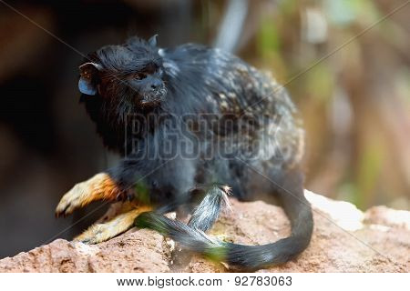 Black Monkey Tamarin
