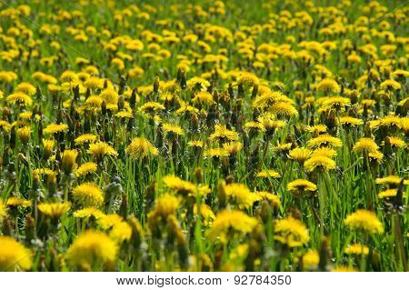 Blossom And Overblown Yellow Dandelions On Green Meadow Closeup