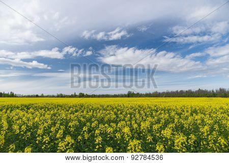 Springtime Landscape Over Natural Oilseed Rape Field