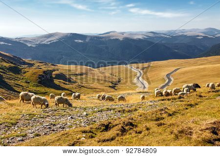Flock Of Sheeps Eating Grass On Top Of The Mountain In Romania