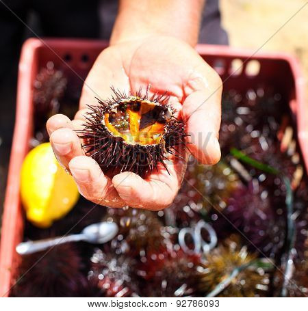 Man Holding A Sea Urchin With Lemon For Eating It
