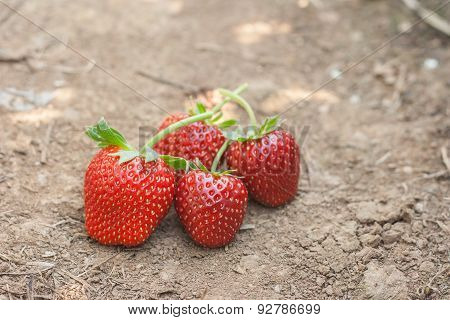 Fresh Ripe Strawberry On Ground.