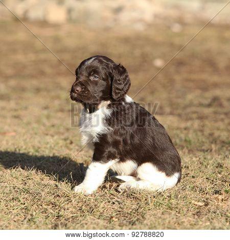 Puppy Of Small Munsterlander