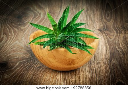 Aloe plant on wooden background