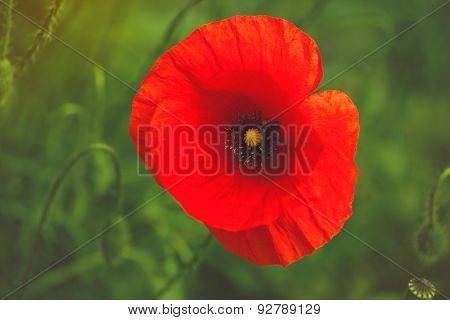 Wild Red Poppy Flower