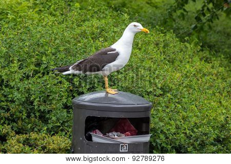 White Gull On Garbage Bin