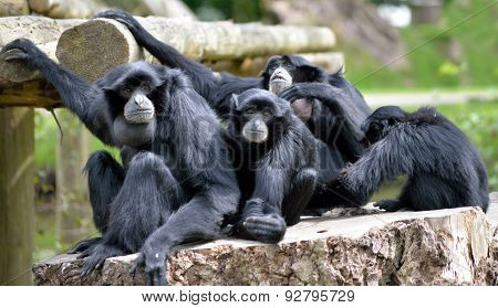 Siamang Gibbon Family Relaxing