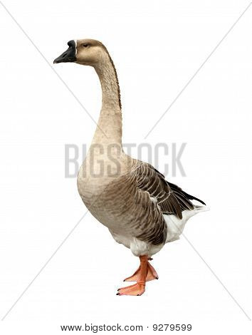 Domestic Goose Isolated