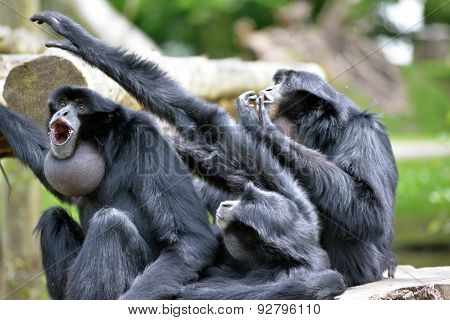 Siamang Gibbon Family Screaming