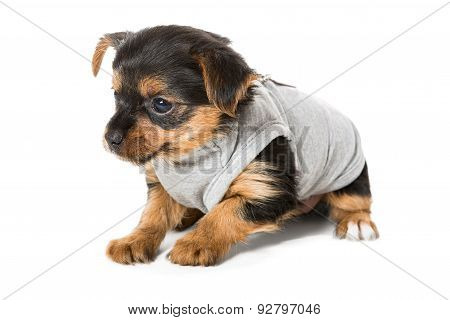 Small Yorkshire Terrier, Isolated On White