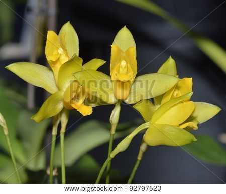 Sweet Scented Lycaste Orchid