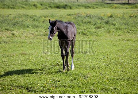 Holsteiner Foal On Pasture