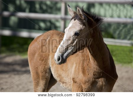 Holsteiner Gray Foal