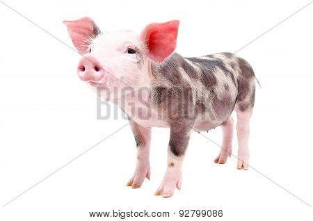 Funny little pig