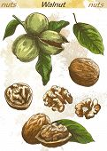 picture of walnut  - walnut set of vector color sketches on an abstract background - JPG