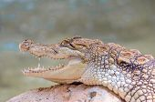 picture of alligator  - Alligator closeup on sand and rocks at zoo - JPG