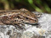 image of lizard skin  - Viviparous lizard basking on warm stone macro closeup  - JPG