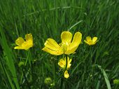 pic of cowslip  - Lesser celandine in the forest with flowers - JPG