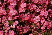 image of begonias  - pink Begonia flowers in garden at spring - JPG