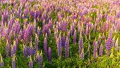 foto of wildflower  - Summer wildflowers lupine - JPG