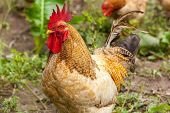 image of roosters  - rooster and hen in the village - JPG