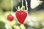 image of strawberry plant  - strawberries in the plant fresh fruit red - JPG